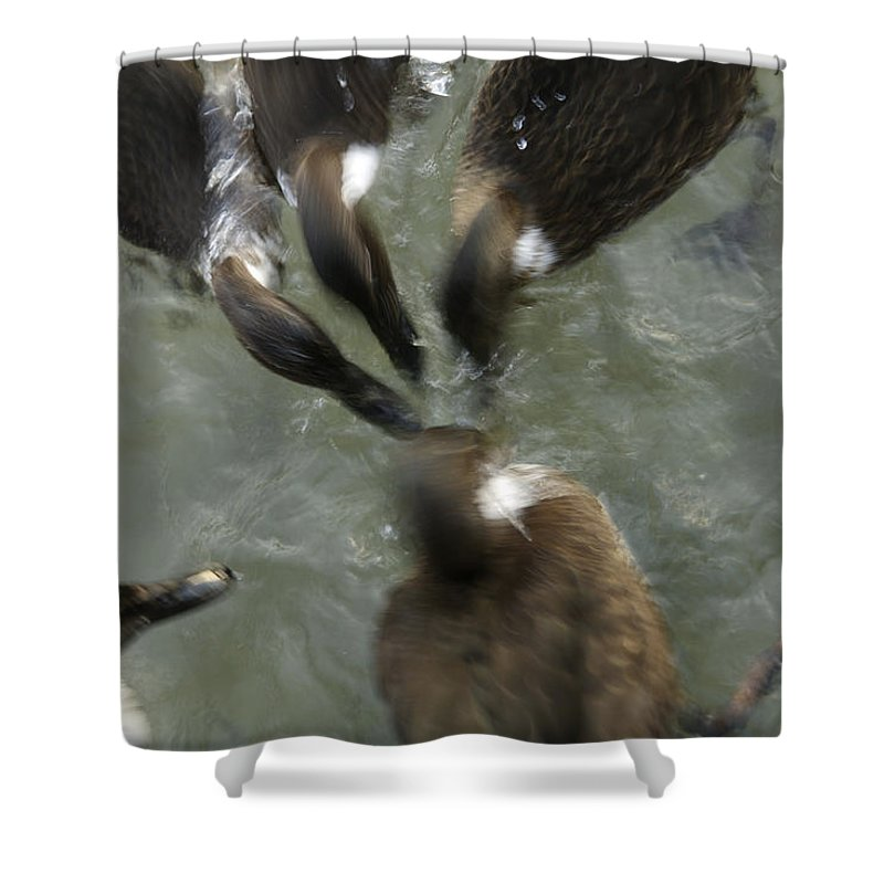 Animal Shower Curtain featuring the photograph Denmark Group Of Ducks Ducking by Keenpress