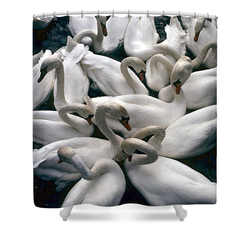Animals In The Wild Shower Curtain featuring the photograph Denmark Swans Gathered On A Lake by Keenpress