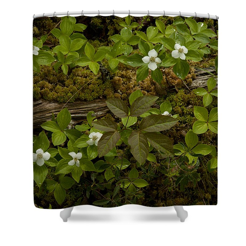 Wildflowers Shower Curtain featuring the photograph Dew Dropped Spring Bunchberries by Irwin Barrett