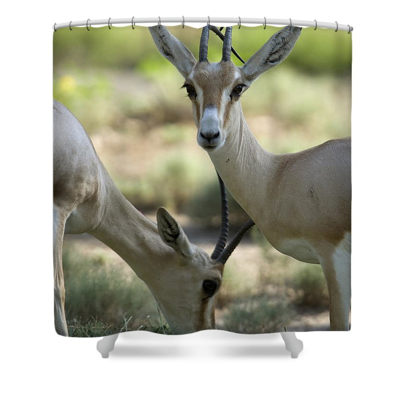 Photography Shower Curtain featuring the photograph Dorcas Gazelle At The Sedgwick County by Joel Sartore