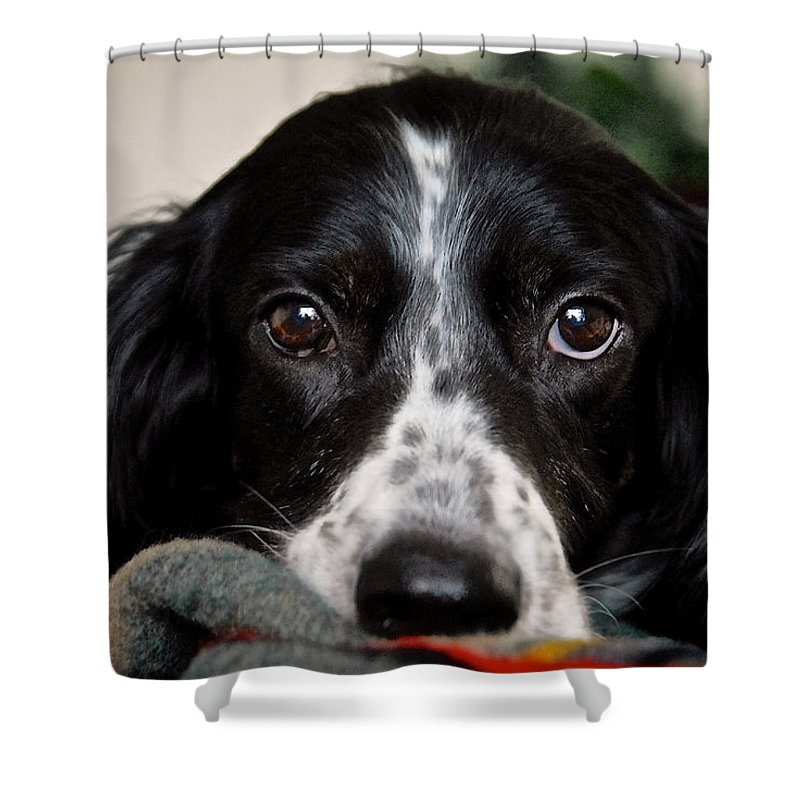 English Setter Shower Curtain featuring the photograph English Setter Eyes by Zayne Diamond Photographic