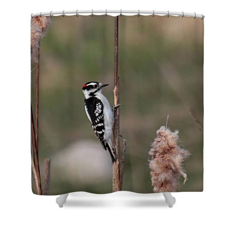 Woodpecker Shower Curtain featuring the photograph Downy Woodpecker On Cattails by Linda Crockett