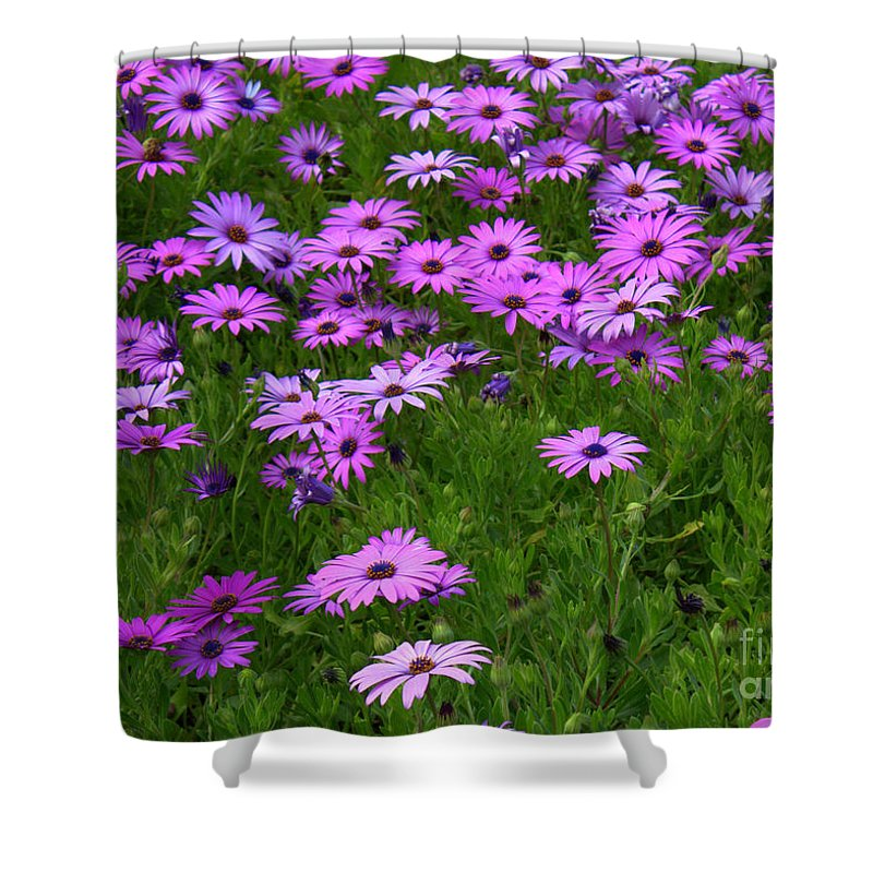 Floral Shower Curtain featuring the photograph Dreaming Of Purple Daisies by Carol Groenen