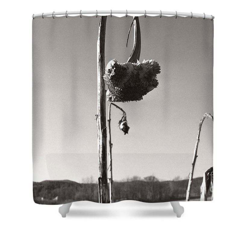 Shower Curtain featuring the photograph Dried Sunflower Closeup by Heather Kirk