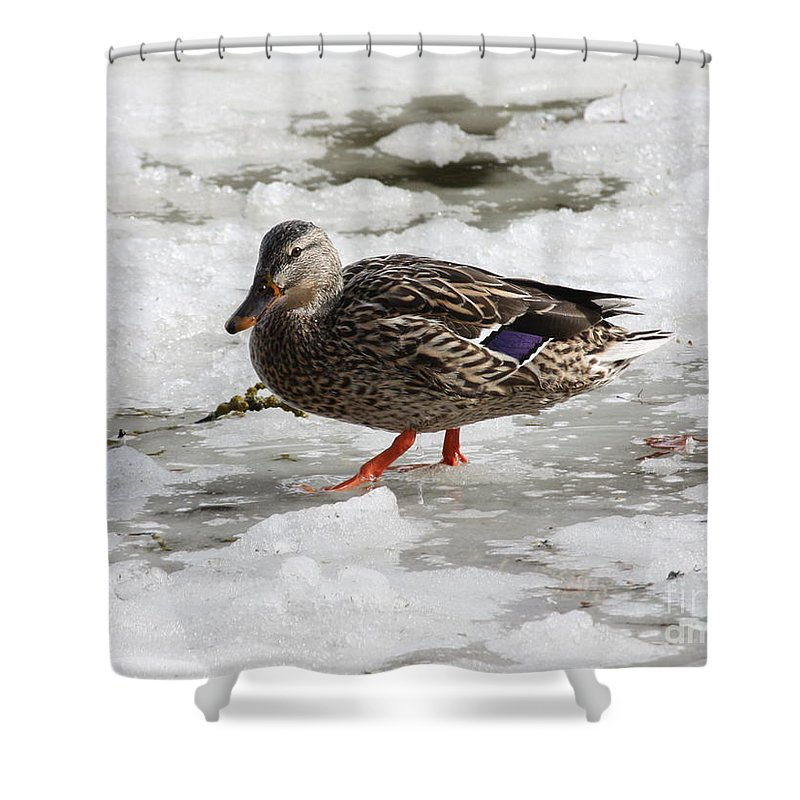Duck Shower Curtain featuring the photograph Duck Walking On Thin Ice by Carol Groenen