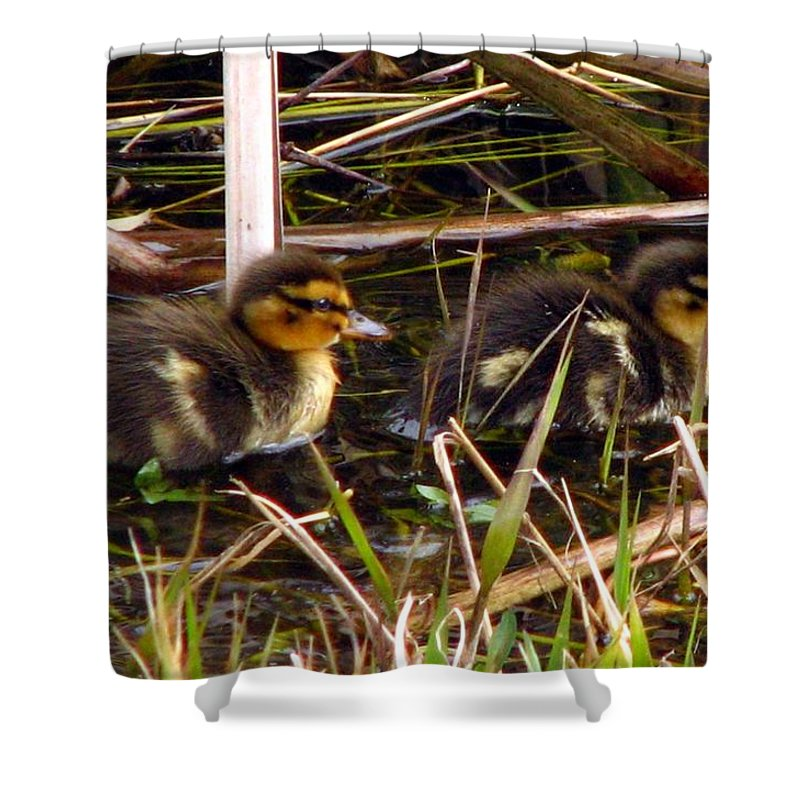 Duck Shower Curtain featuring the photograph Ducklings 2 by J M Farris Photography