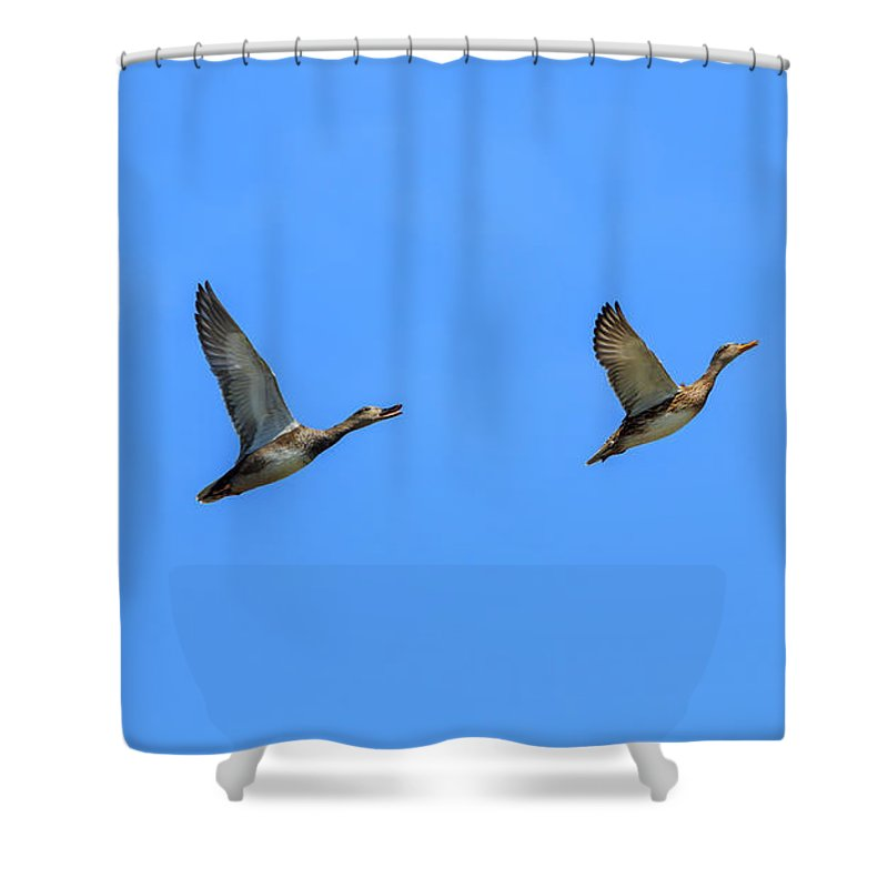 America Shower Curtain featuring the photograph Ducks In A Row by Andrew Balcombe