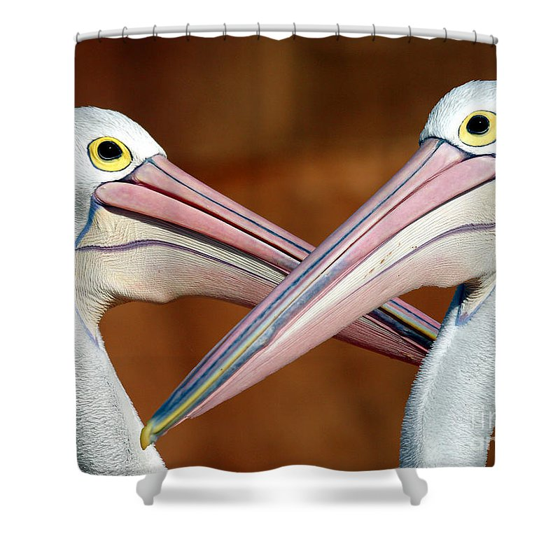 Duelling Pelicans Bird Australia Seabird Shower Curtain featuring the photograph Duelling Pelicans by Sheila Smart Fine Art Photography
