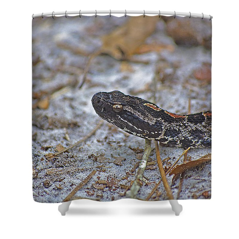 Snake Shower Curtain featuring the photograph Dusky Pygmy Rattlesnake by Kenneth Albin