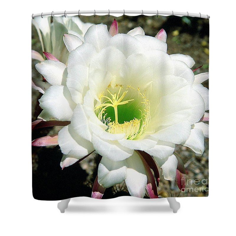 Wildflowers Shower Curtain featuring the photograph Easter Lily Cactus Flower by Kathy McClure