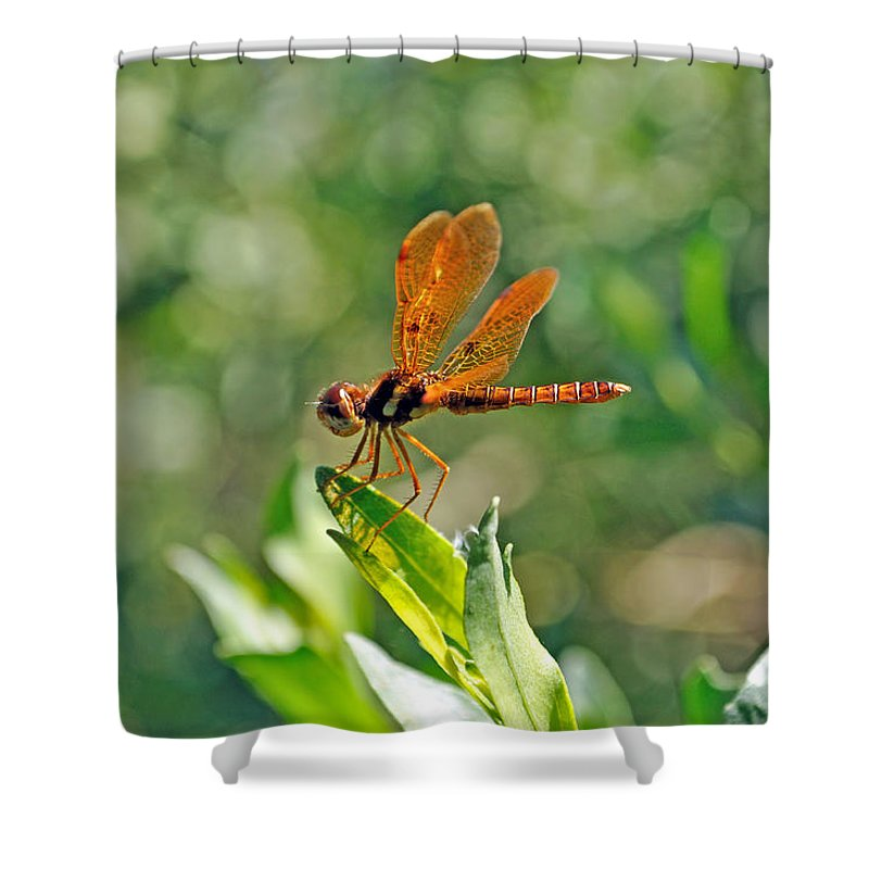 Dragonfly Shower Curtain featuring the photograph Eastern Amber Wing Dragonfly by Kenneth Albin