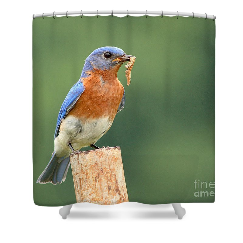 Bluebird Shower Curtain featuring the photograph Eastern Bluebird With Caterpillar Lunch by Max Allen