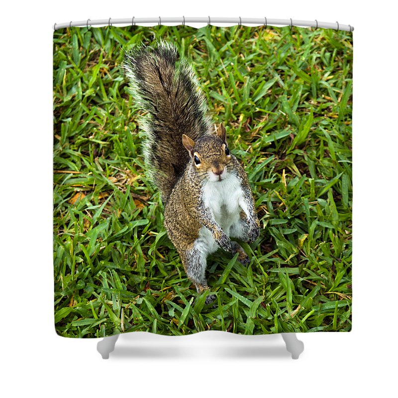 Squirrel; Eastern; Gray; Sciurus; Carolinensis; Swarm; Food; Florida; Eau; Gallie; Melbourne; Park; Shower Curtain featuring the photograph Eastern Gray Squirrel by Allan Hughes