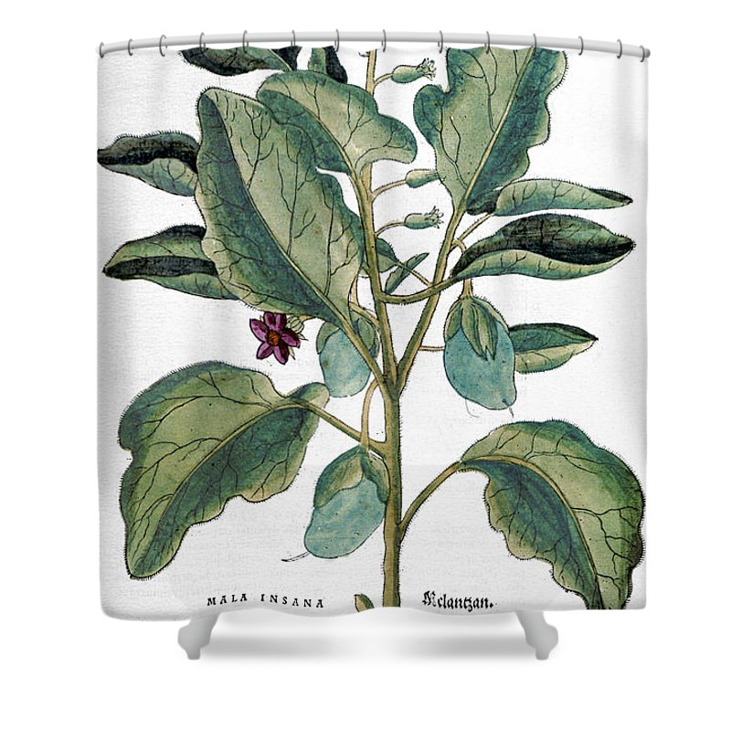 1730s Shower Curtain featuring the photograph Eggplant, 1735 by Granger