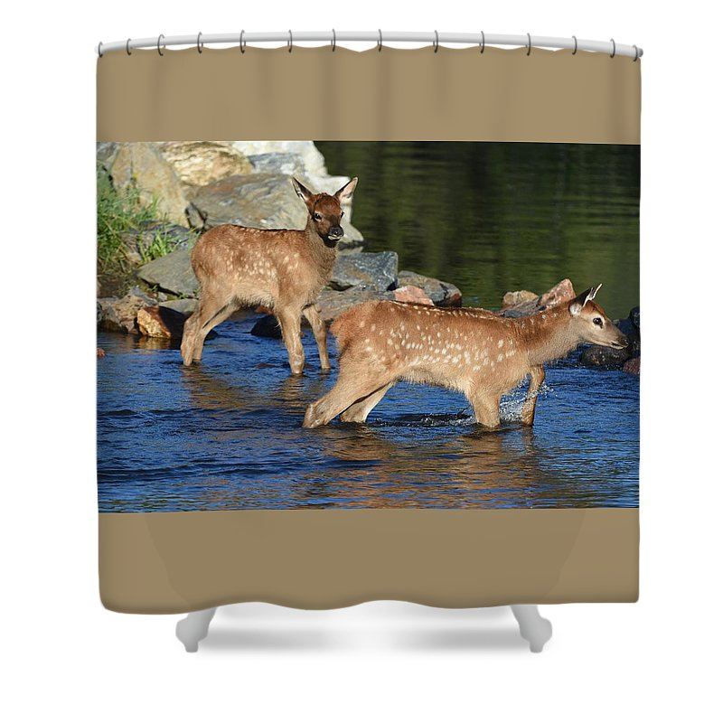 #elk #elkcafe #rivercrossing #nature #colorado #water #creek Shower Curtain featuring the photograph Elk Calf Crossing River 1 by Dave Masters