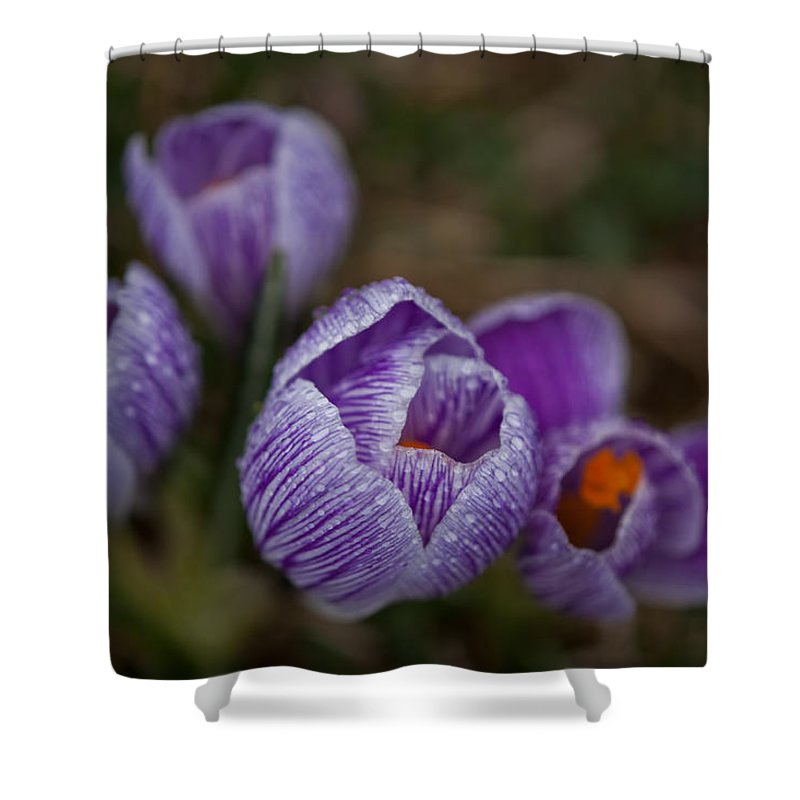 Domesticated Flowers Shower Curtain featuring the photograph Emerging Crocuses by Irwin Barrett