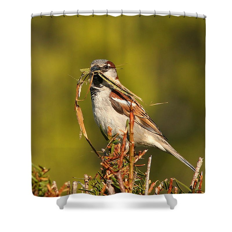 Sparrow Shower Curtain featuring the photograph English Sparrow Bringing Material To Build Nest by Max Allen