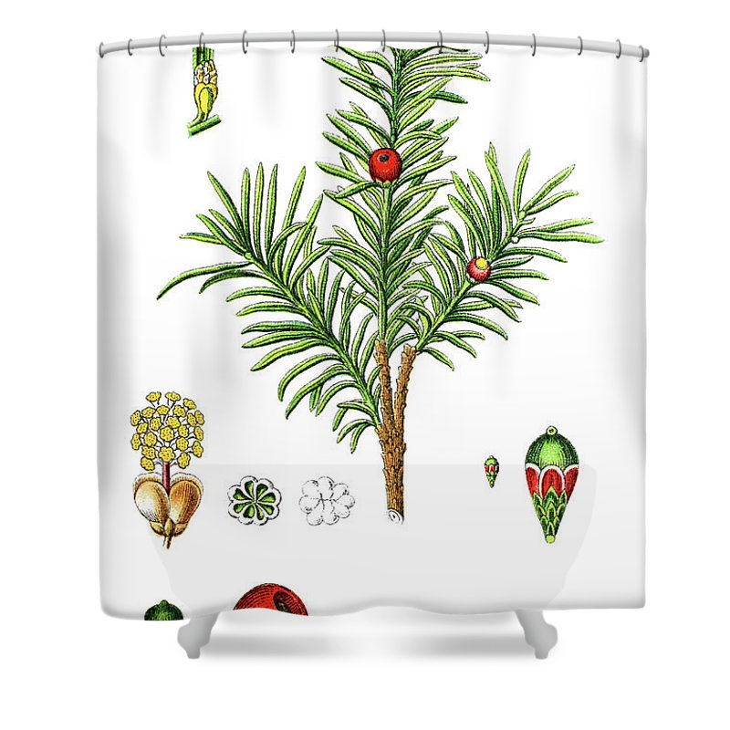 English Yew Shower Curtain Featuring The Drawing Or European Taxus Baccata