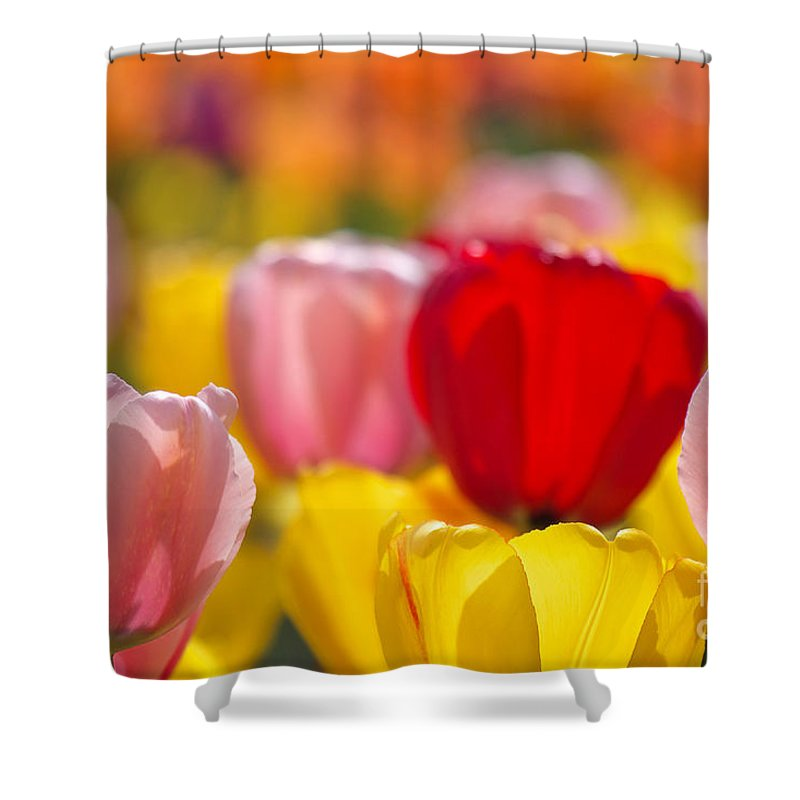 Tulips Shower Curtain featuring the photograph Explosion Of Colors by Angela Doelling AD DESIGN Photo and PhotoArt