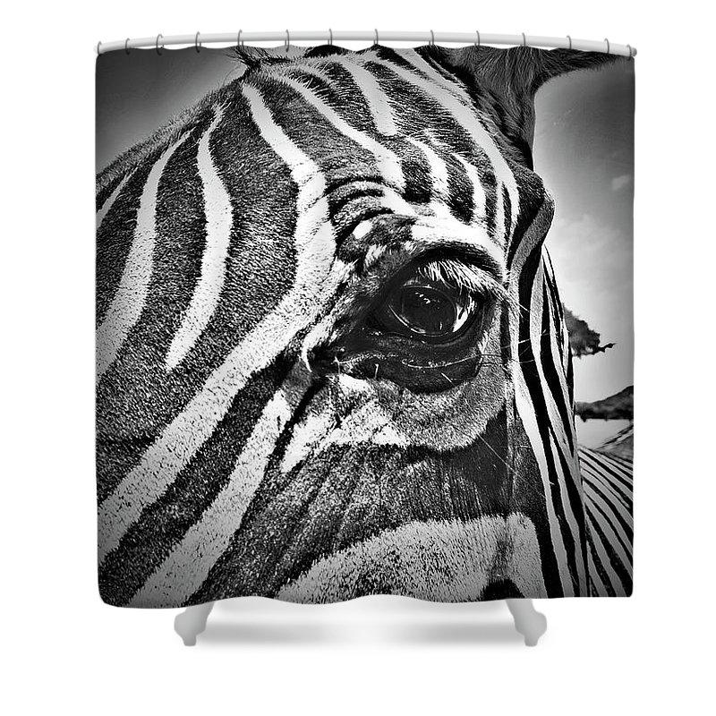 Zebra Shower Curtain featuring the photograph Eye Level by Douglas Barnard