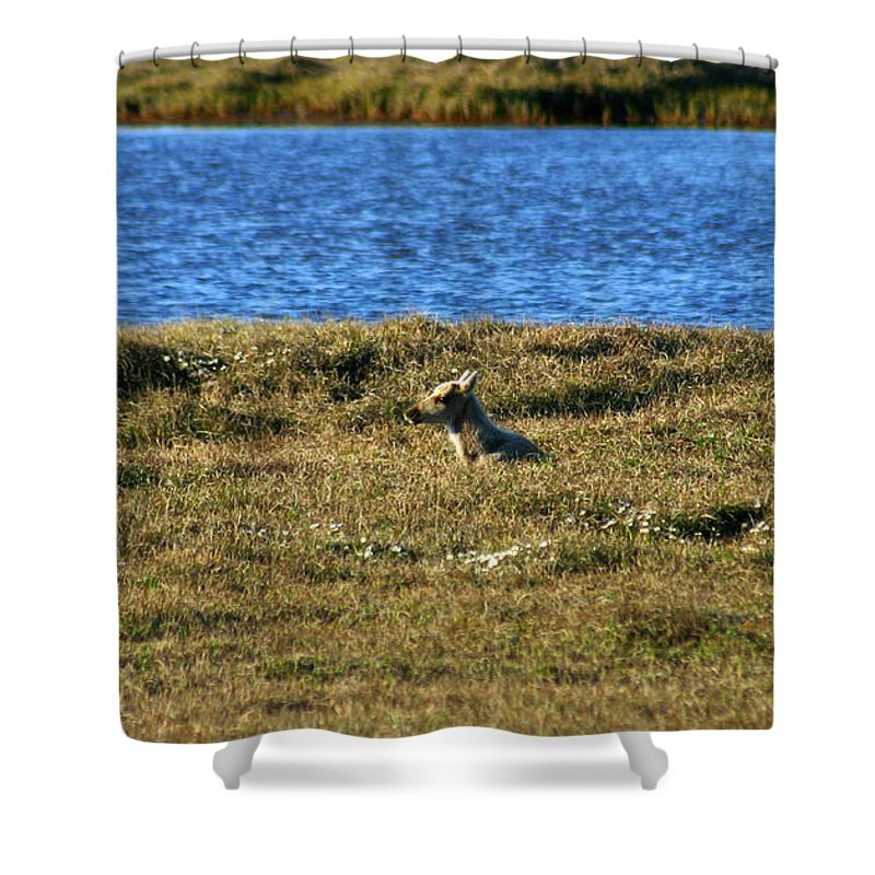 Caribou Shower Curtain featuring the photograph Fawn Caribou by Anthony Jones
