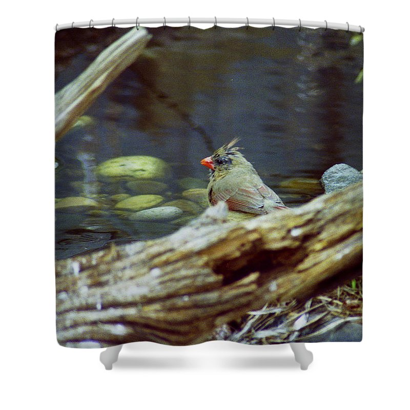 Female Shower Curtain featuring the photograph Female Cardinal by Michael Peychich