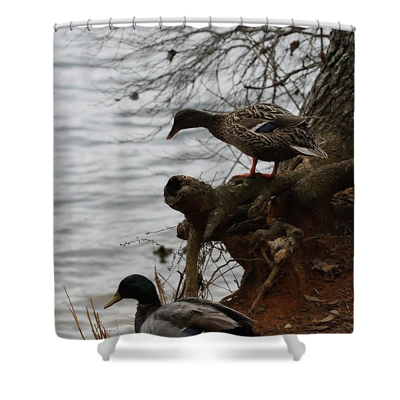 Mallard Shower Curtain featuring the photograph First One In by Kim Henderson