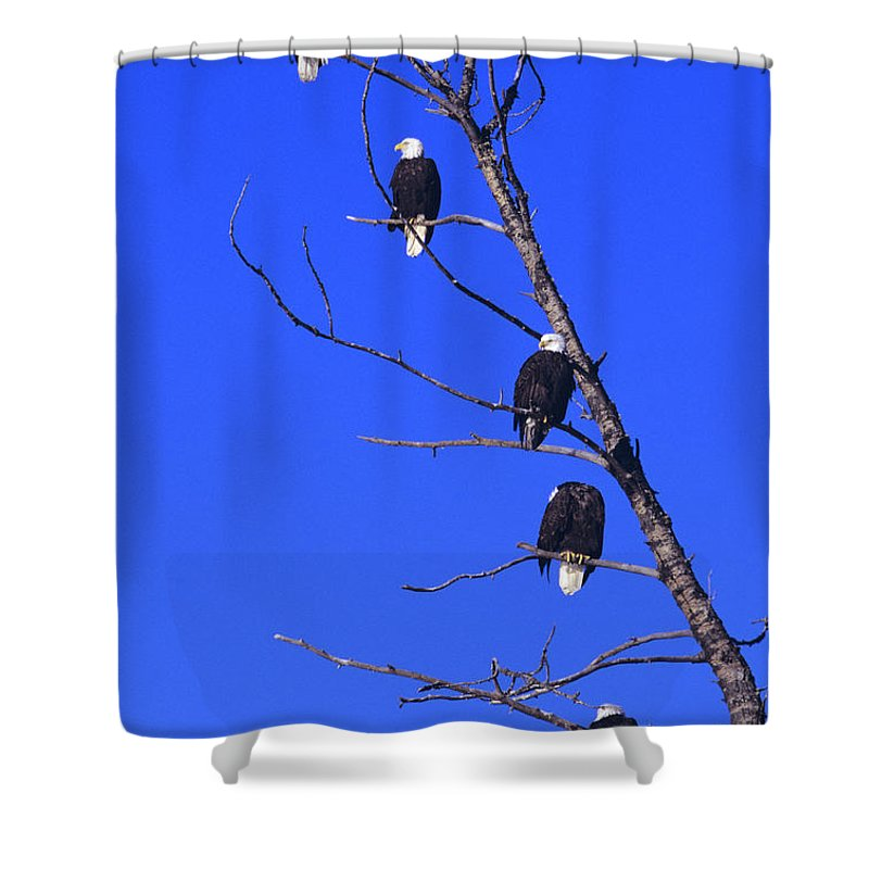Alaska Shower Curtain featuring the photograph Five Bald Eagles by John Hyde - Printscapes