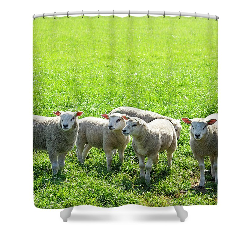 Agricultural Shower Curtain featuring the photograph Flock Of Sheep Standing In A Field Waiting by Tetyana Ustenko