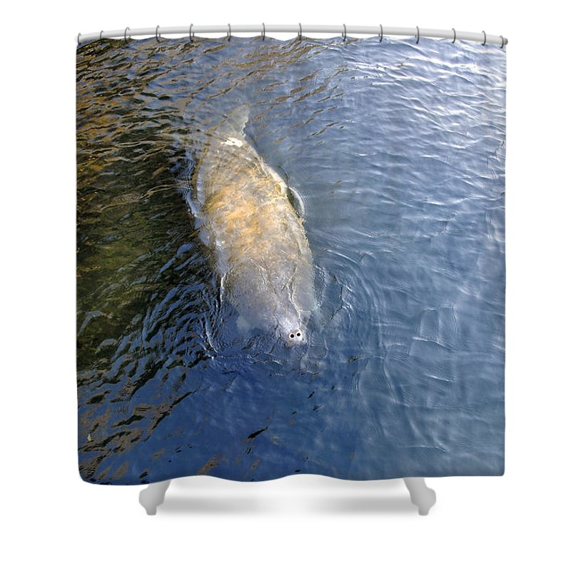 Manatee Shower Curtain featuring the photograph Florida Manatee by David Lee Thompson