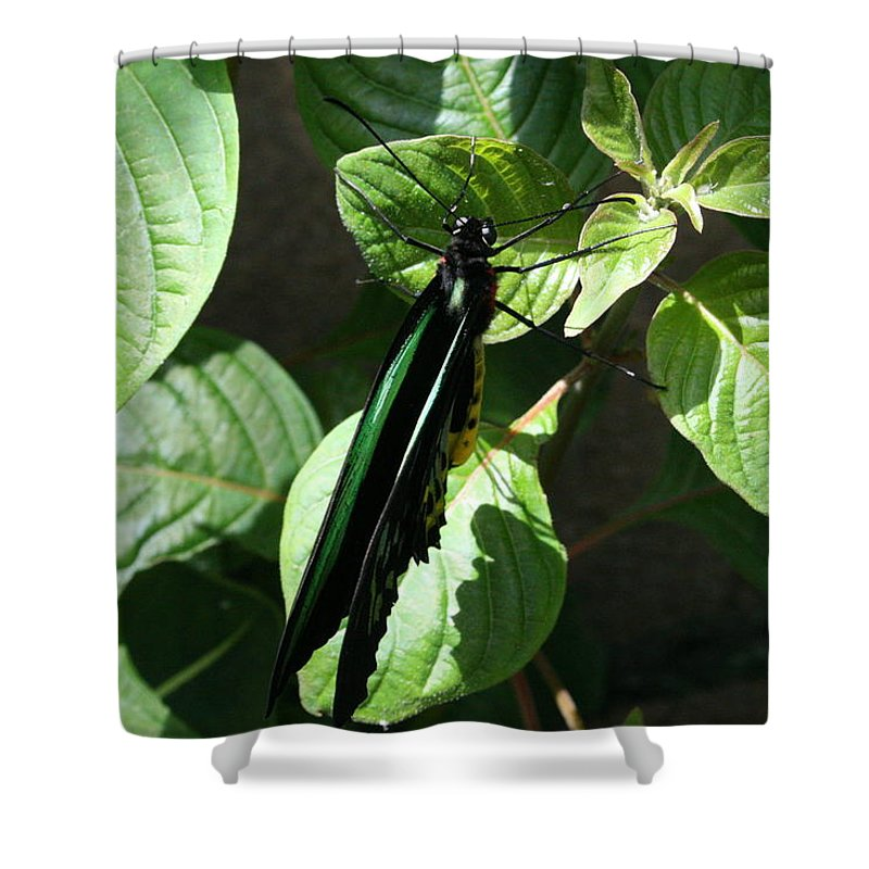 Black Shower Curtain featuring the photograph Folded Up - Green And Black Butterfly by Lynn Michelle