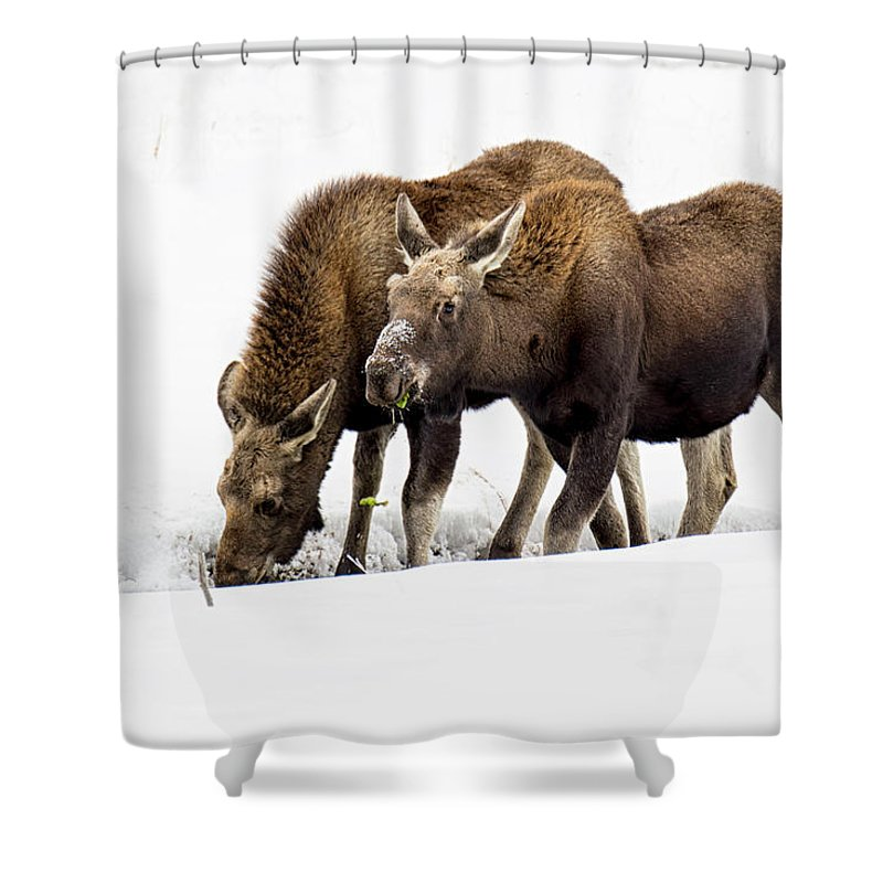Moose Shower Curtain featuring the photograph Foraging by Stacy White