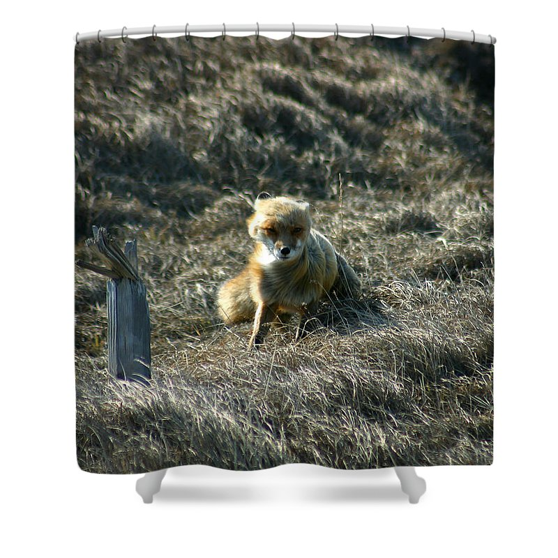 Red Fox Shower Curtain featuring the photograph Fox In The Wind by Anthony Jones