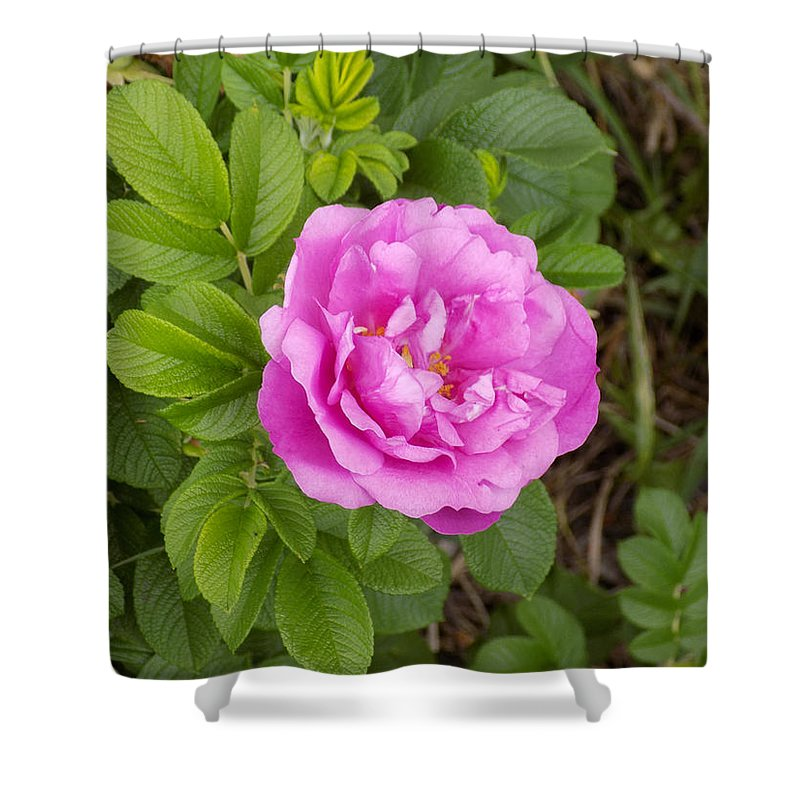 Rosa Rugosa Shower Curtain featuring the photograph Fragrant Rugosa by William Tasker
