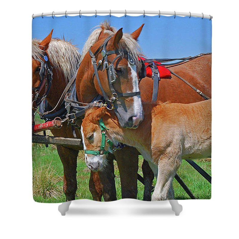 Animal Shower Curtain featuring the photograph Franklinville Plowfest 1417b by Guy Whiteley