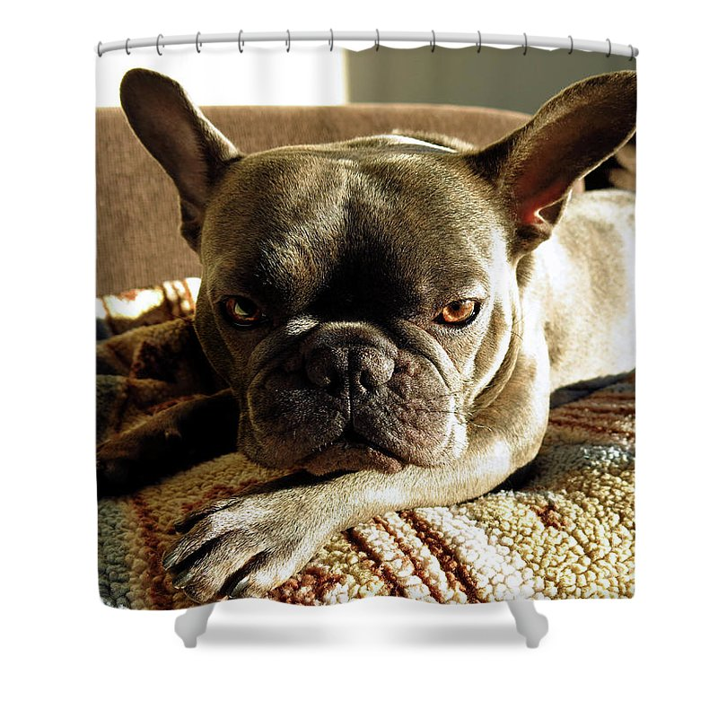 Adorable Shower Curtain Featuring The Photograph French Bulldog Fierce Look By Tana Kosiyabong