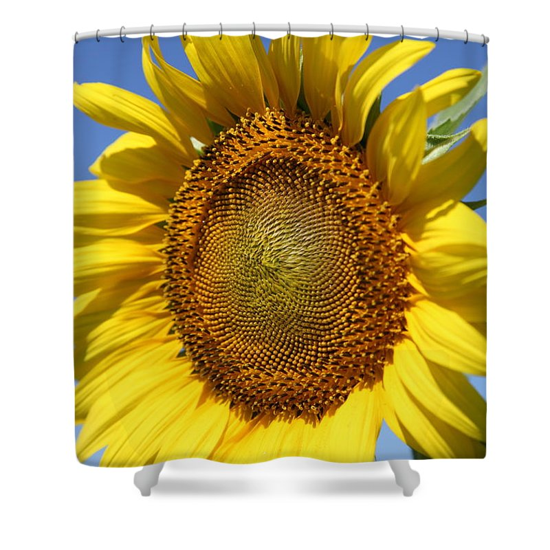 Sunflowers Shower Curtain featuring the photograph Full by Amanda Barcon