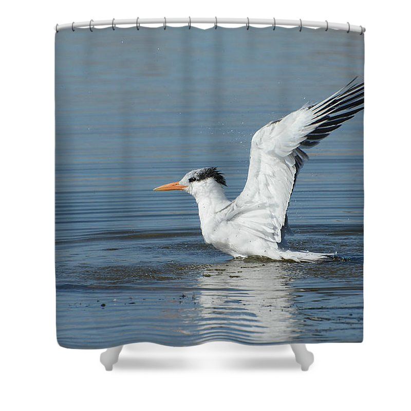 Royal Tern Shower Curtain featuring the photograph Full Throttle by Fraida Gutovich
