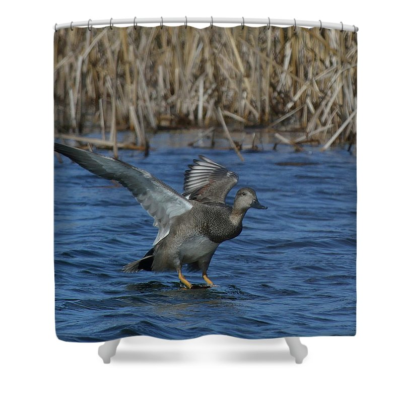 North American Shower Curtain featuring the photograph Gadwall Landing by Mark Wallner