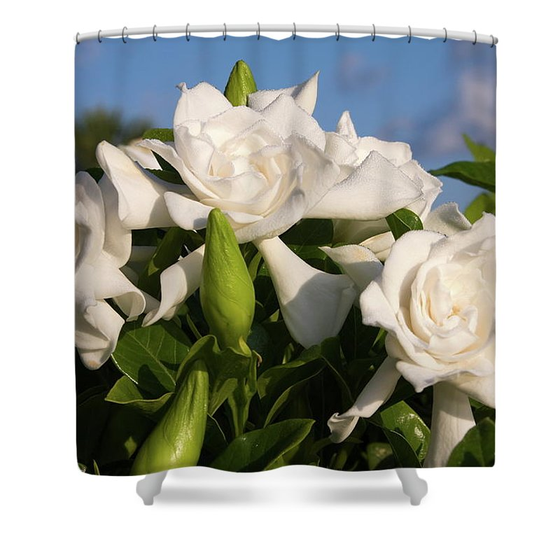 3 Gardenia Flowers Shower Curtain featuring the photograph Gardenia Flowers by Sally Weigand