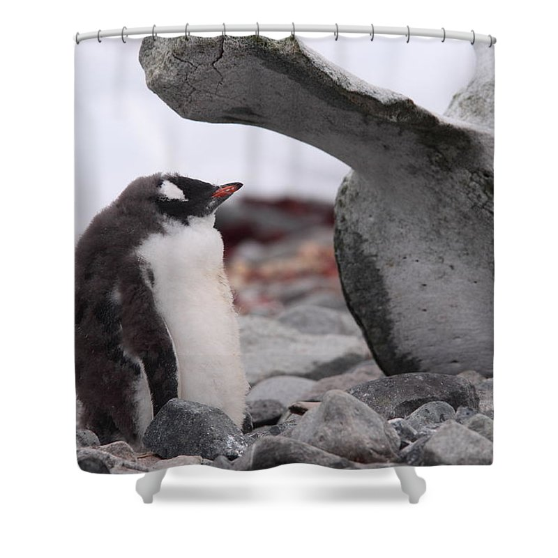 Gentoo Shower Curtain featuring the photograph Gentoo Penguin Chick Under Whale Vertebrae by Bruce J Robinson