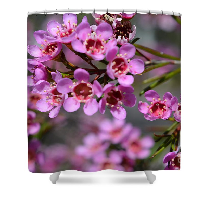 Geraldton wax flowers cwa pink australian native flower shower wax flower shower curtain featuring the photograph geraldton wax flowers cwa pink australian native mightylinksfo