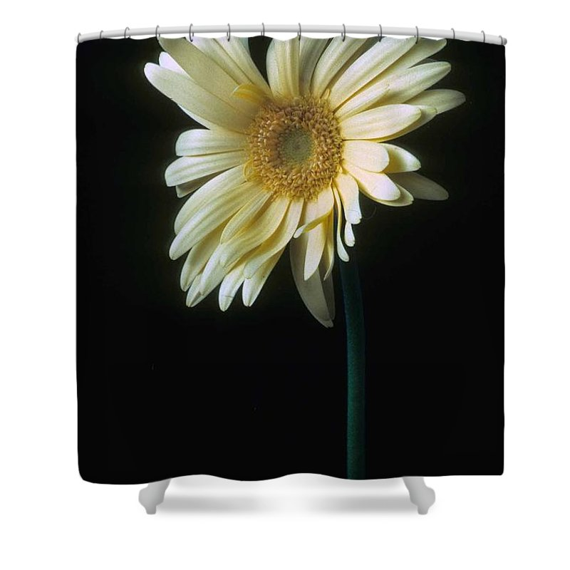 Gerber Shower Curtain featuring the photograph Gerber Daisy by Laurie Paci