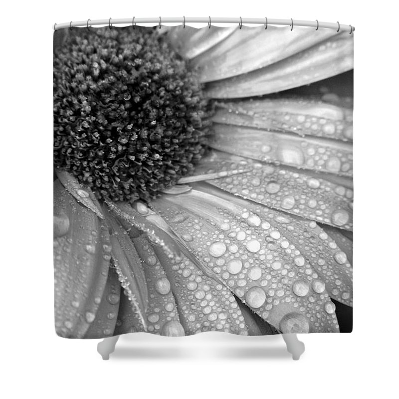 Gerbera Daisy Shower Curtain featuring the photograph Gerbera Daisy After The Rain 3 by Natasha Sweetapple