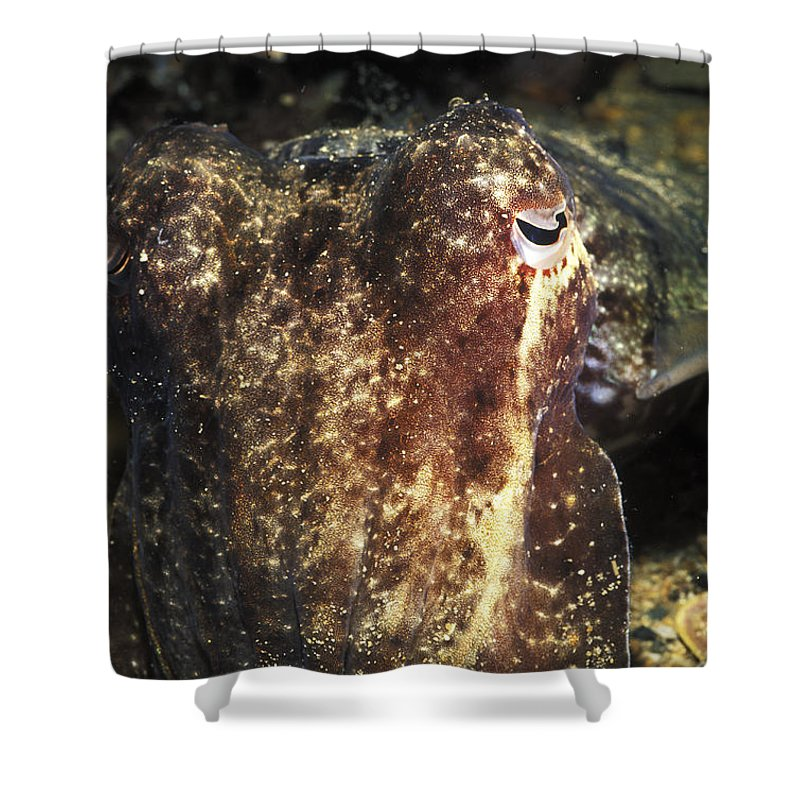 Australia Shower Curtain featuring the photograph Giant Cuttlefish Camouflage by James Forte