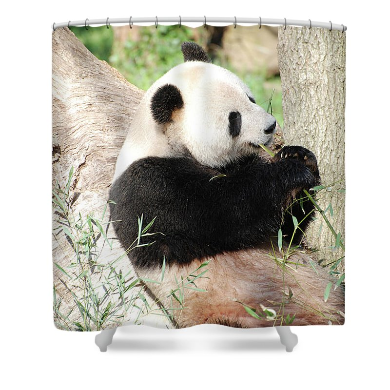 Panda Shower Curtain featuring the photograph Giant Panda Bear Leaning Against A Tree Trunk Eating Bamboo by DejaVu Designs