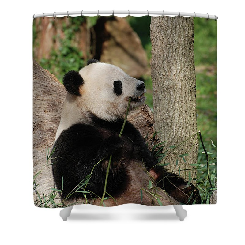 Panda Shower Curtain featuring the photograph Giant Panda Bear Sitting Up Leaning Against A Tree by DejaVu Designs