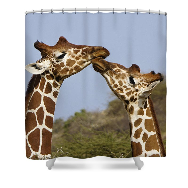 Africa Shower Curtain featuring the photograph Giraffe Kisses by Michele Burgess