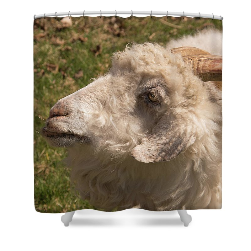 Goat Shower Curtain featuring the photograph Goat Looking Up. by Diane Schuler