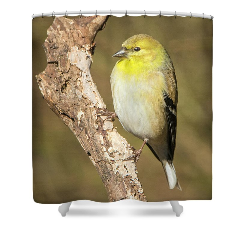 Birds Shower Curtain featuring the photograph Gold Finch by David Waldrop
